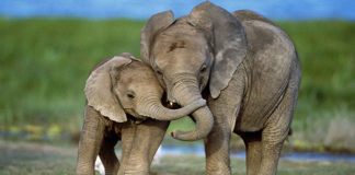 Слон принесет умеренность, долголетие и богатство