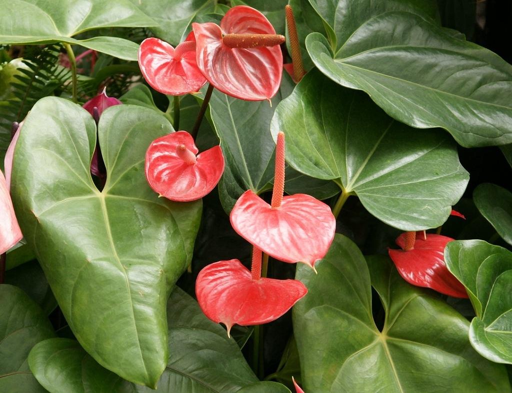 Антуриум или иначе «мужское счастье». 10 комнатных растений, которые приносят счастье
