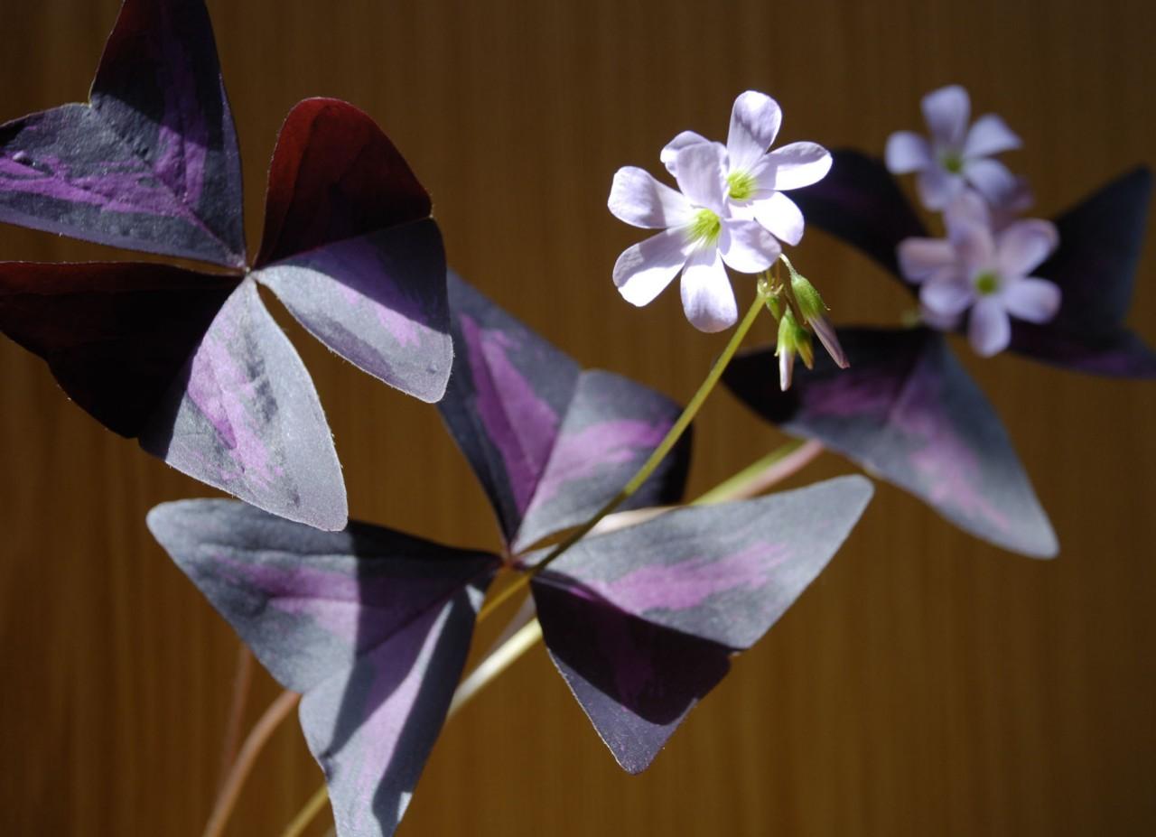 Кислица. 10 комнатных растений, которые приносят счастье