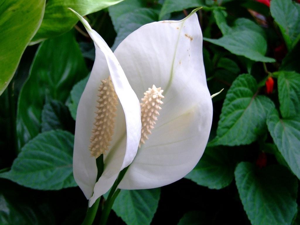 Спатифиллум или «женское счастье». 10 комнатных растений, которые приносят счастье